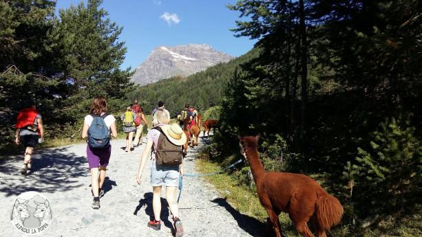 Trekking with Alpacas
